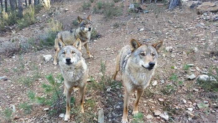 zamora-centro-lobo-iberico-1-696x392