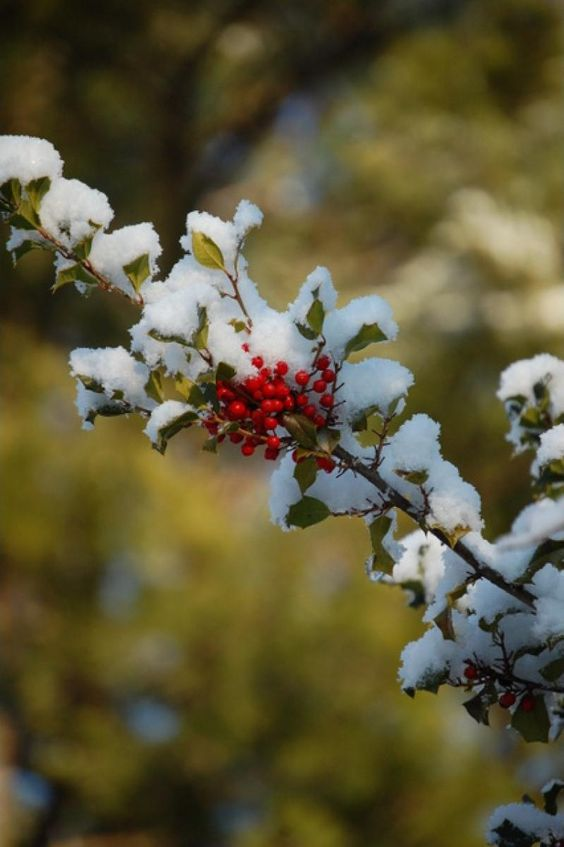 ilex ambienta invierno