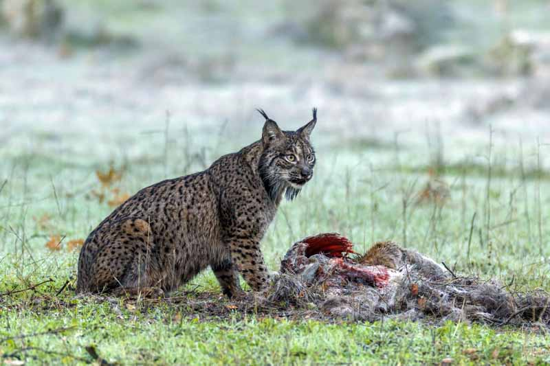 dehesa-lince-iberico-documental