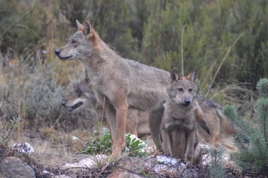 centro-lobo-sanabria-nuevo-cachorro